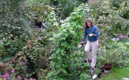 Bohnenernte im eigenen Garten.